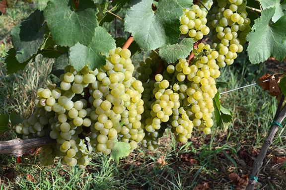 chardonnay grapes italy