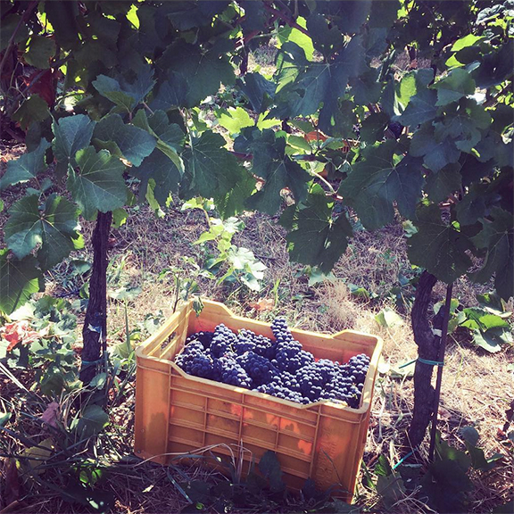 harvest franciacorta