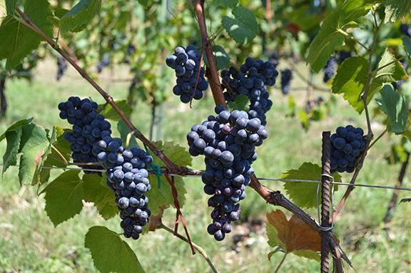 organic pinot noir grapes